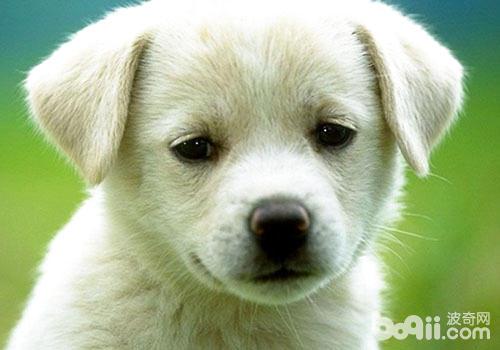 怎么帮狗狗上眼药-狗狗用药常识